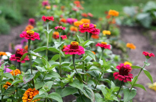 colourful flowers allotment