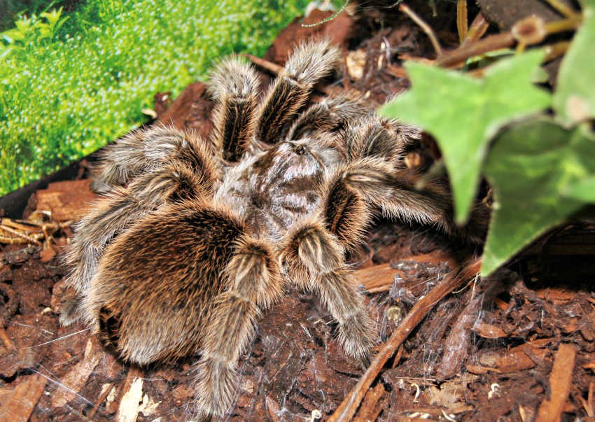Chilean Rose tarantula, which humidity does a Chilean Rose tarantula need, what does Chilean Rose tarantula eat