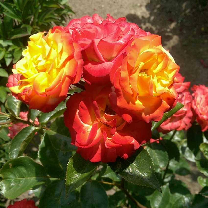beautiful roses in my nan's garden