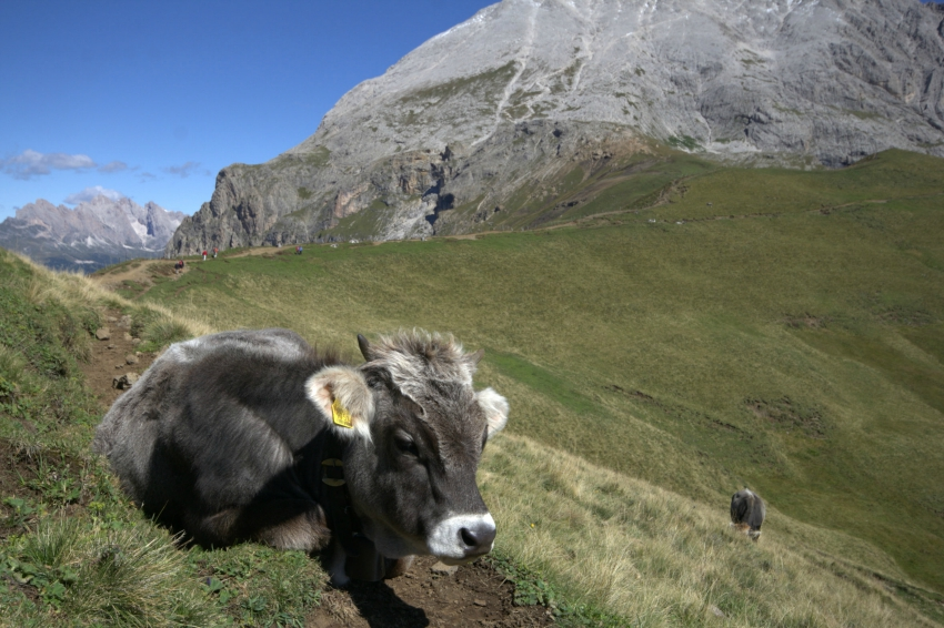 baby cow in Dolomites, Dolomiten, Mount Sasso Piatto Wanderung, hiking in South Tyrol